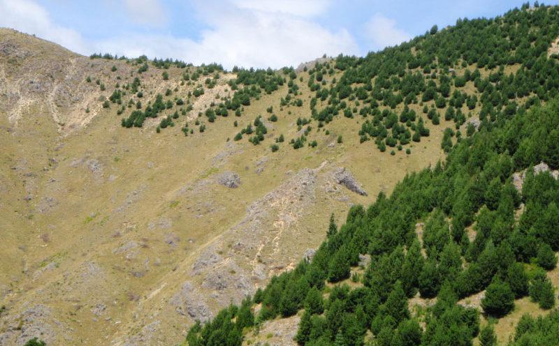 Wilding Pines