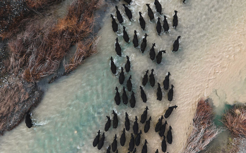 Mustering cows across river
